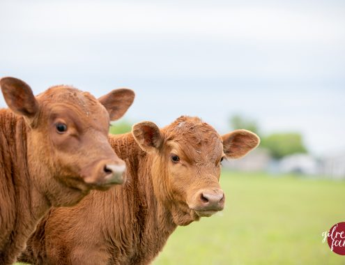 Buy registered Red Angus cattle